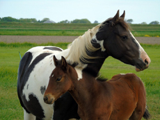 American Paint Horse breeding the Eagles Ranch on Texel