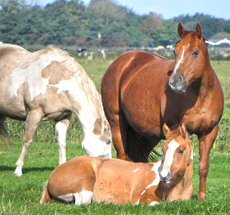 Dirty Calico, Sorrel Solid Painthorse fok merrie met haar veulen Eagles Qton Rock Flo, Red Dun Tobiano